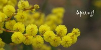 How to grow wattle trees from seed - It's spring, happy wattle day! - Acacia pycnantha flowers