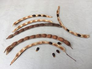 How to grow wattle trees from seed: Acacia genistifolia seed pods