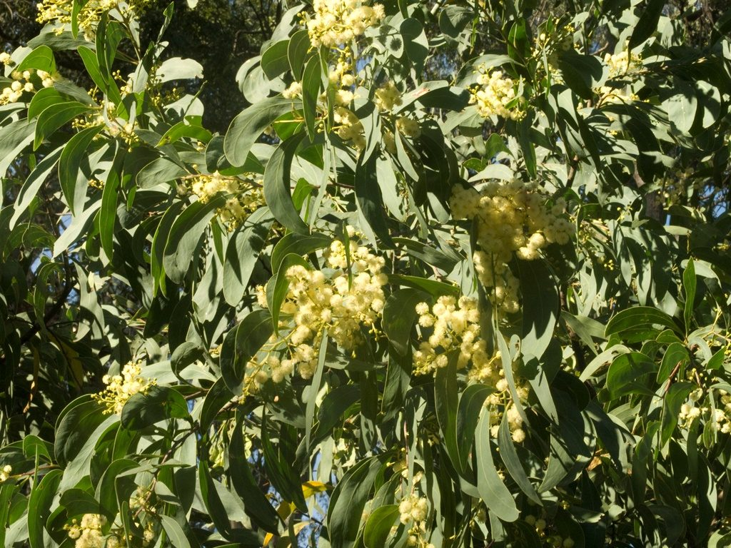 How to grow wattle trees from seed: Acacia falciformis