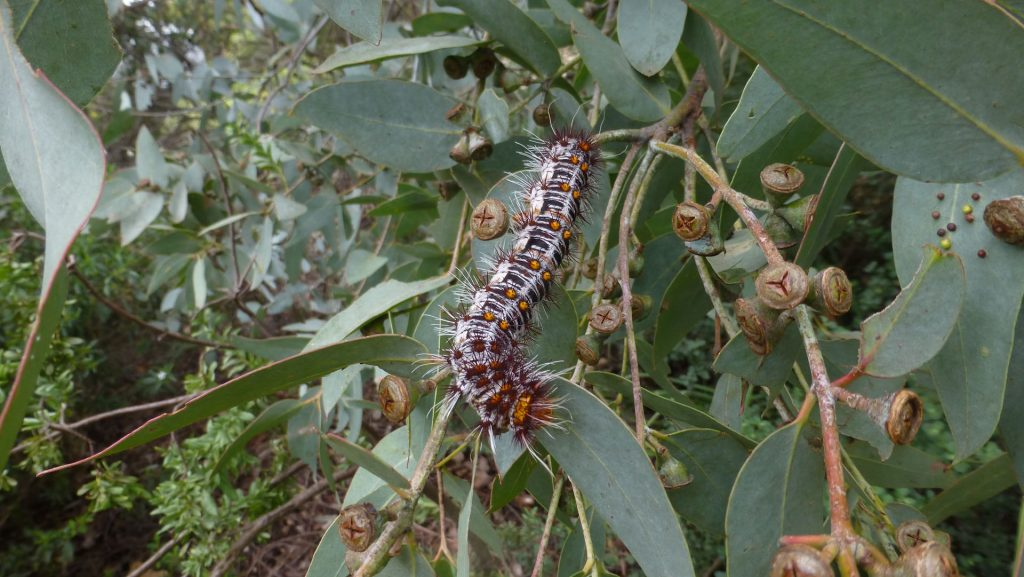 How to create a wildlife-friendly garden: caterpillar in eucalyptus