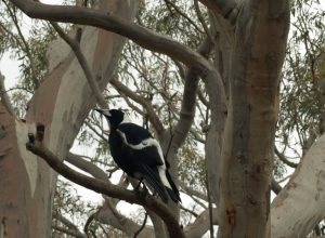 How to create a wildlife-friendly garden: magpie in tree