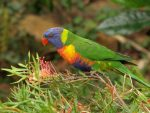 How to grow a wildlife garden: rainbow lorikeet on grevillea