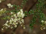 local plants for gardens in Hobart and Tasmania: Bursaria spinosa