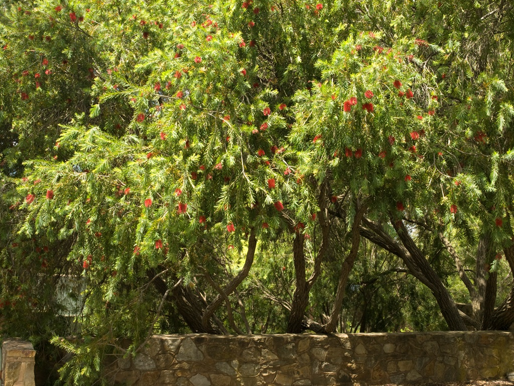 How to create a wildlife-friendly garden: bottlebrush