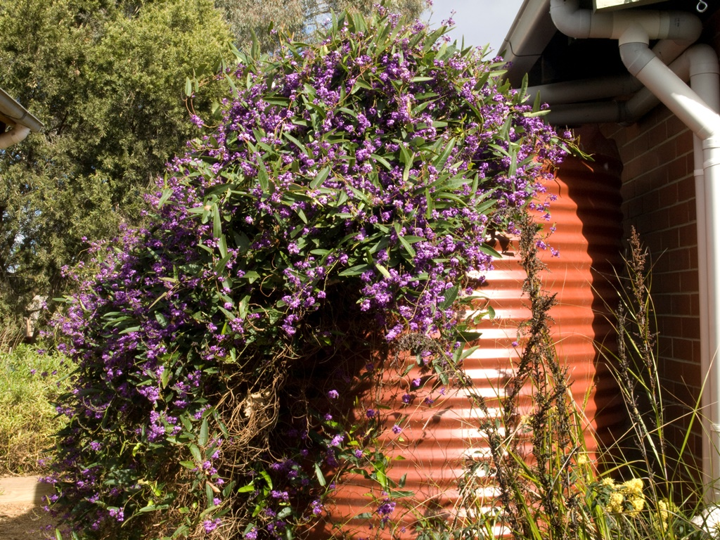 How to create a wildlife-friendly garden: Hardenbergia on water tank