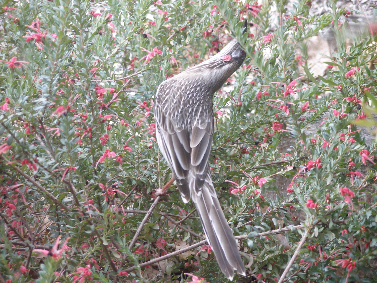 How to create a wildlife-friendly garden: wattlebird in grevillea