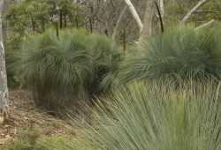 How to grow grass trees: Xanthorrhoea glauca subsp. glauca at the Australian National Botanic Gardens