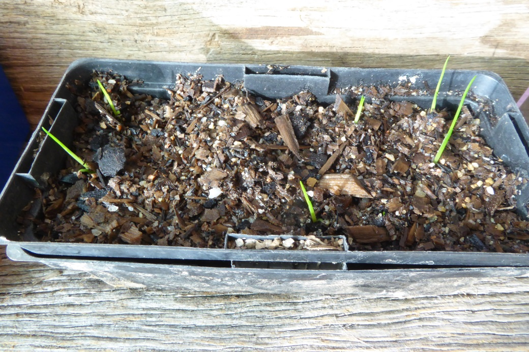 How to grow grass trees: Very young Grass Tree (Xanthorrhoea) seedlings in punnet.