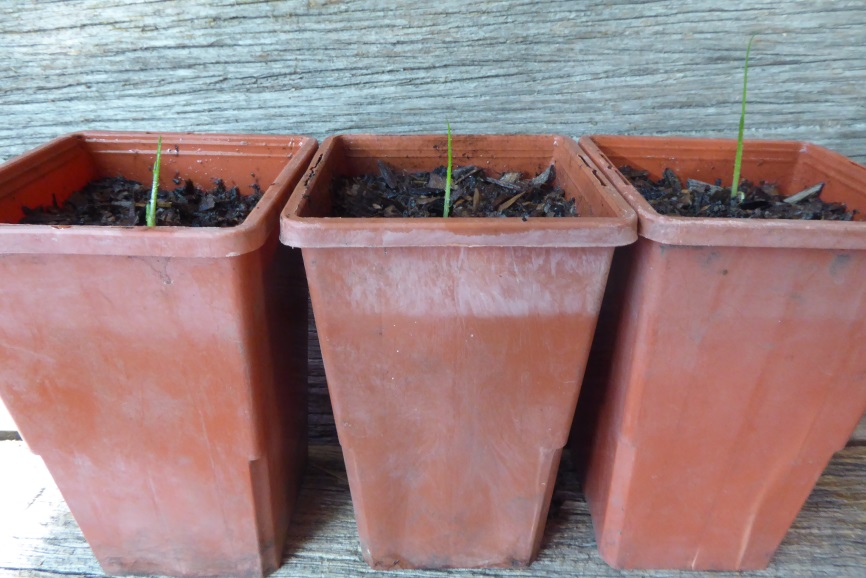 How to grow grass trees: Grass Tree (Xanthorrhoea) young potted seedlings