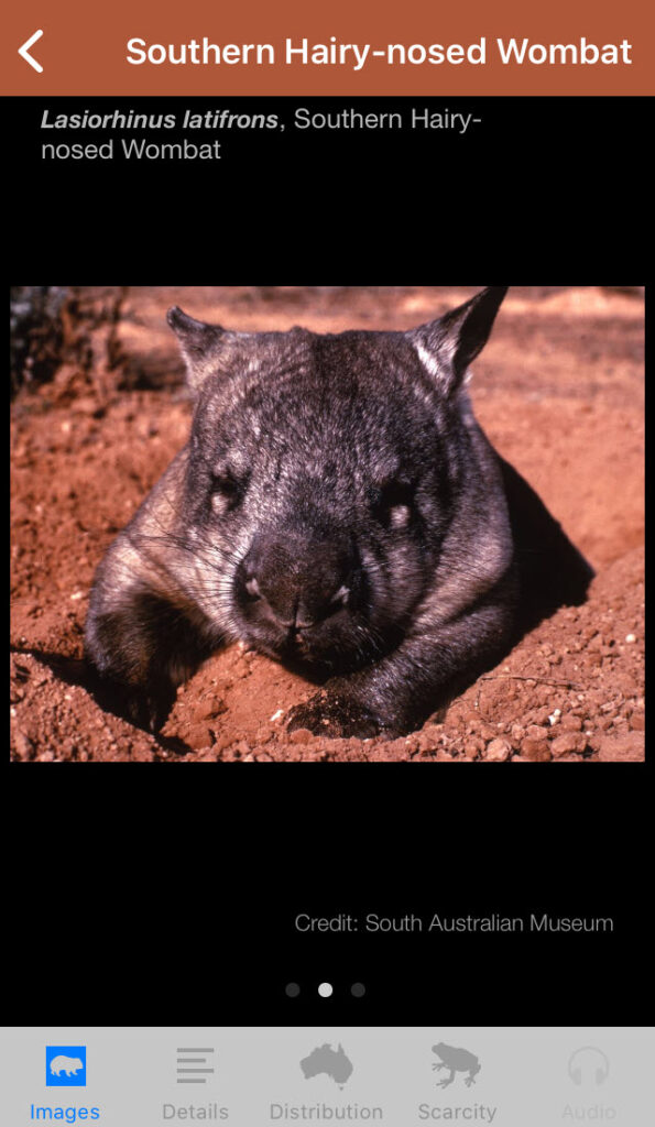 Field Guide to South Australian Fauna app, Hairy-nosed Wombat