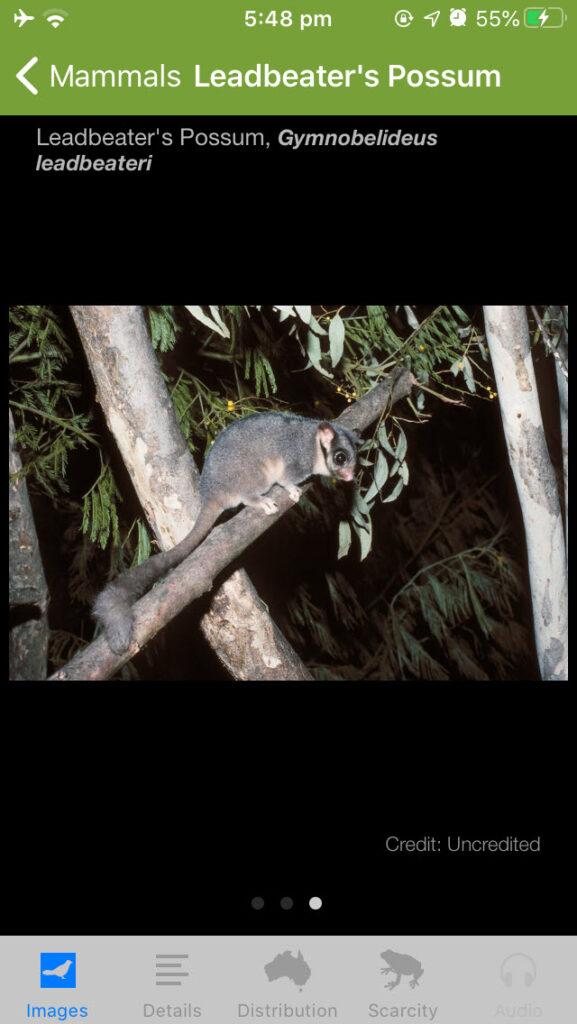 Leadbeater's Possum, Gymnobelideus leadbeateri