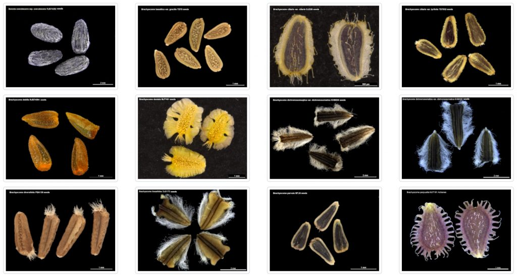 Seeds of South Australia images
